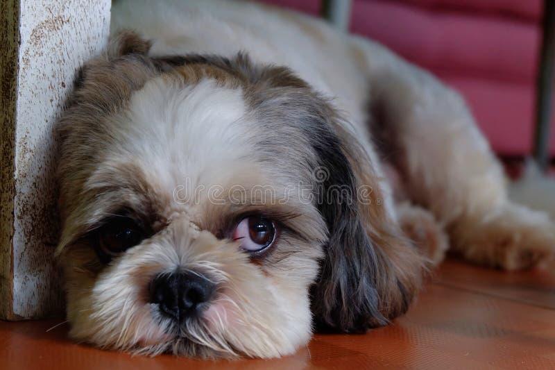 De hond van Shihtzu royalty-vrije stock afbeeldingen