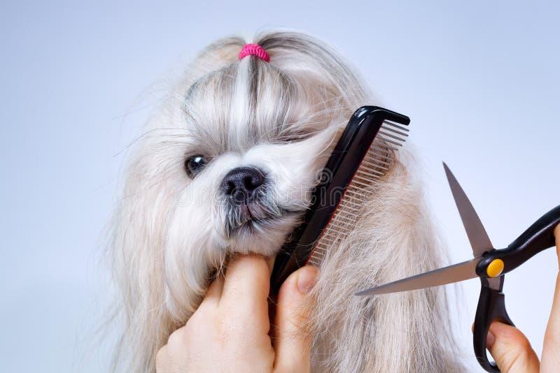 De hond van Shihtzu het verzorgen royalty-vrije stock afbeelding