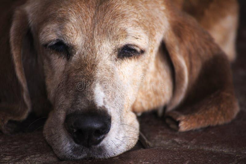 De Hond van slaapbasset hound stock foto