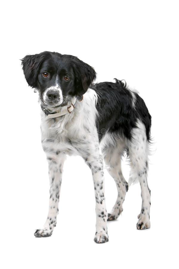 De hond van Stabyhoun royalty-vrije stock foto's