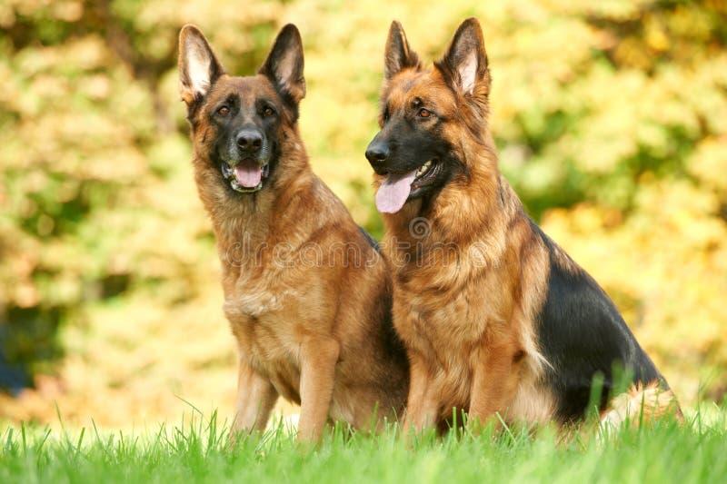 De Hond van twee Duitse herder royalty-vrije stock afbeelding
