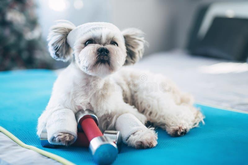 De Hond van Tzu van Shih stock afbeeldingen