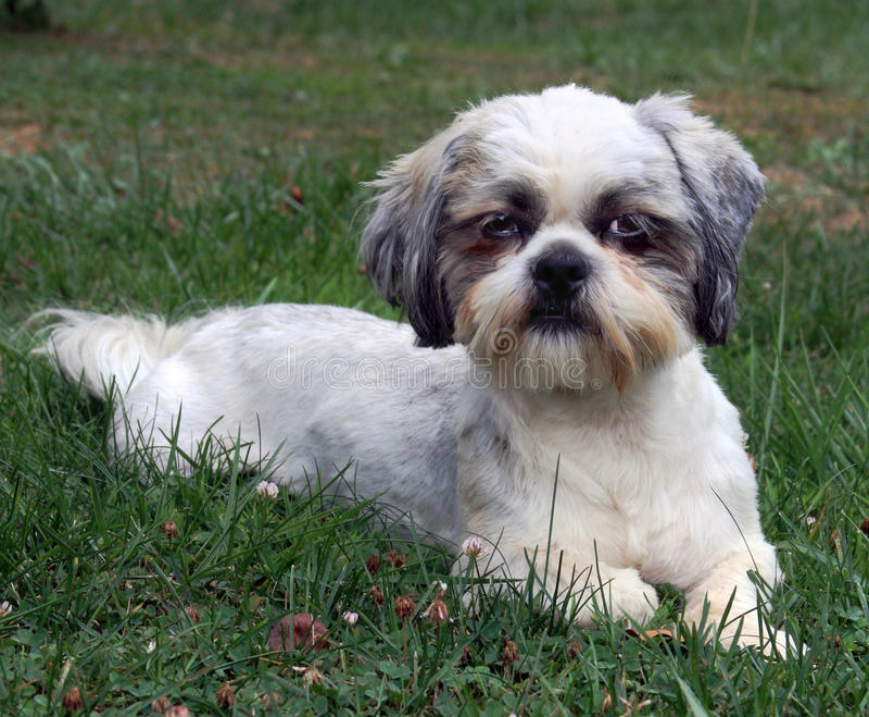 De hond van Tzu van Shih in gras stock afbeeldingen