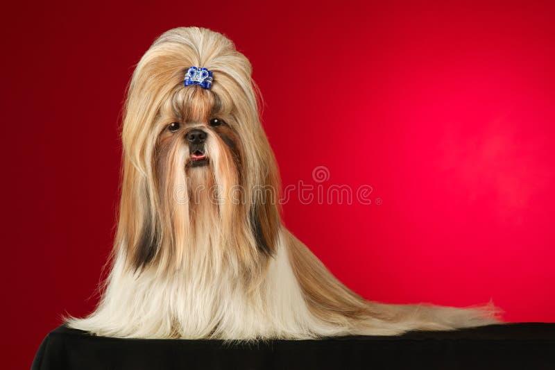 De hond van Tzu van Shih met blauwe haarspeld ontsproot volledig gezicht stock afbeelding