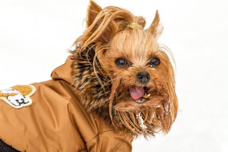 De hond van Yorkshire in een de winterlaag royalty-vrije stock afbeelding
