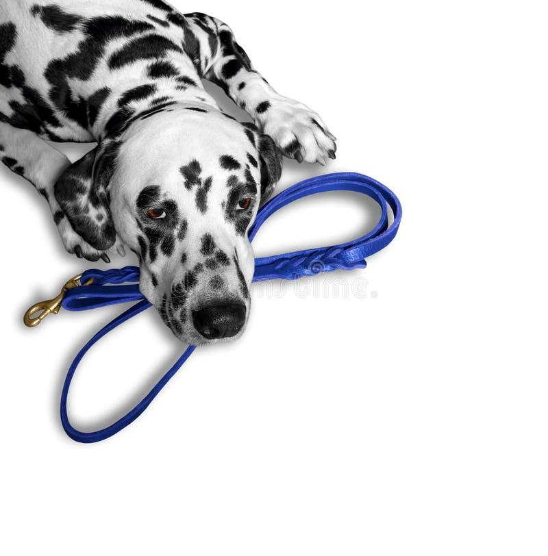 De hond wil dichtbij de leiband lopen en wachten stock afbeelding