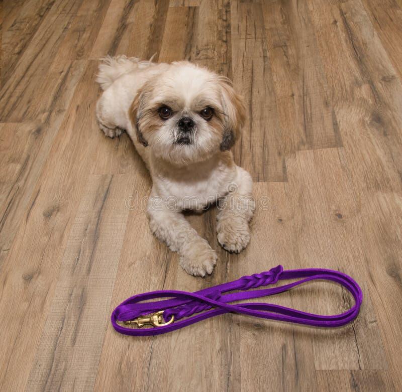 De hond wil dichtbij de leiband lopen en wachten stock fotografie