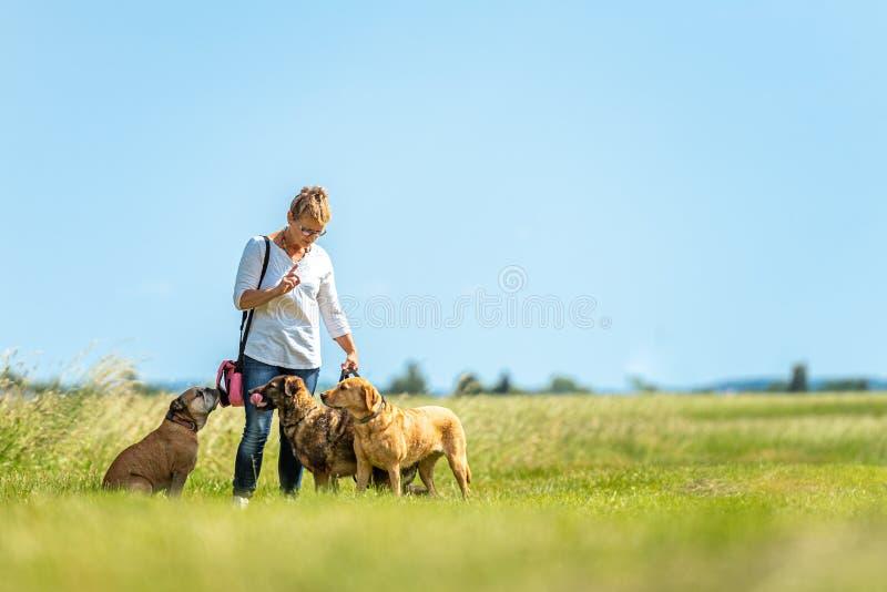 De hondbabysitter loopt met vele honden op een leiband Hondleurder met verschillende hondrassen in de mooie aard royalty-vrije stock afbeeldingen