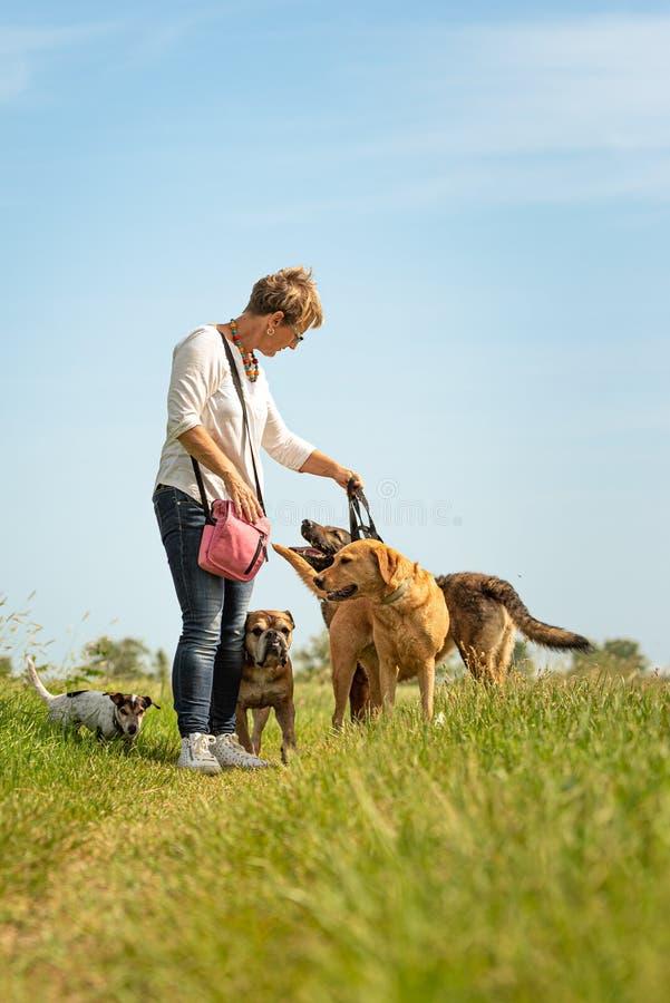 De hondbabysitter loopt met vele honden op een leiband Hondleurder met verschillende hondrassen in de mooie aard stock foto's