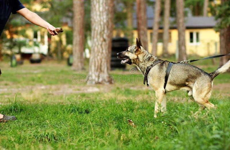De hondeigenaar geeft een stuk van vlees aan zijn hongerige jonge Duitse herdershond met zijn uit tong stock afbeeldingen