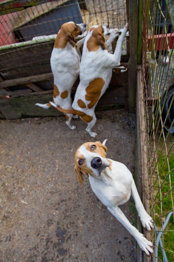 De Honden van de bloedhond royalty-vrije stock foto
