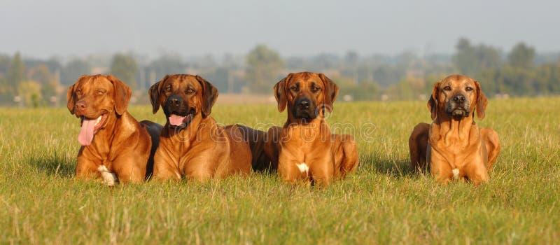 De honden van de familie royalty-vrije stock afbeeldingen