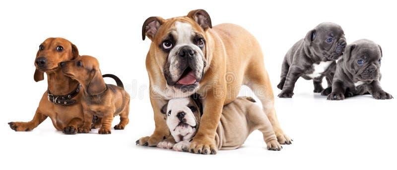 De honden van de groep stock fotografie