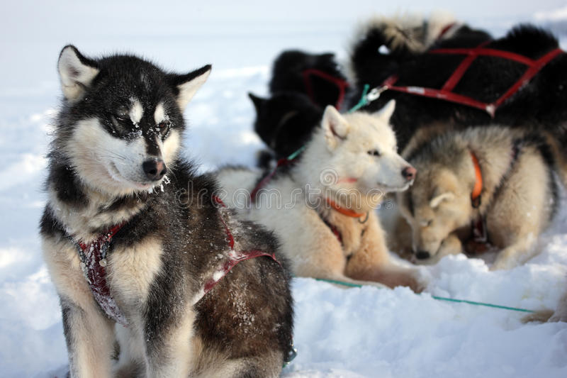De honden van de slee op het pakijs van Oost-Groenland royalty-vrije stock foto
