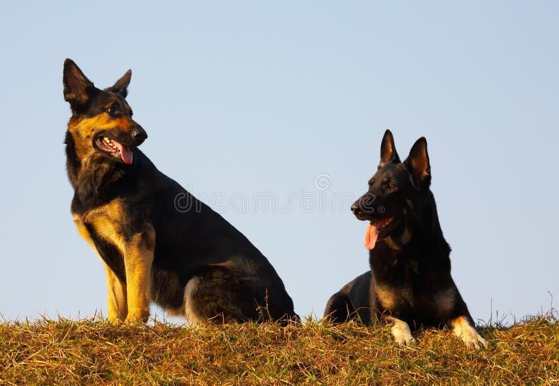 De honden van de veiligheid stock afbeeldingen