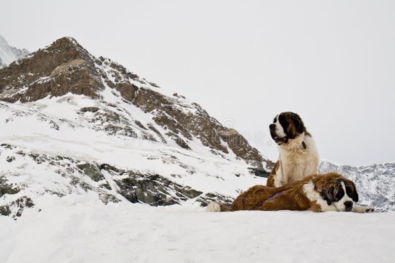 De honden van heilige Bernardine in Zwitserse Alpen stock afbeelding