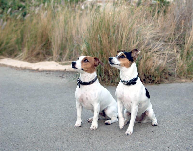 De honden van Jack Russel stock foto's