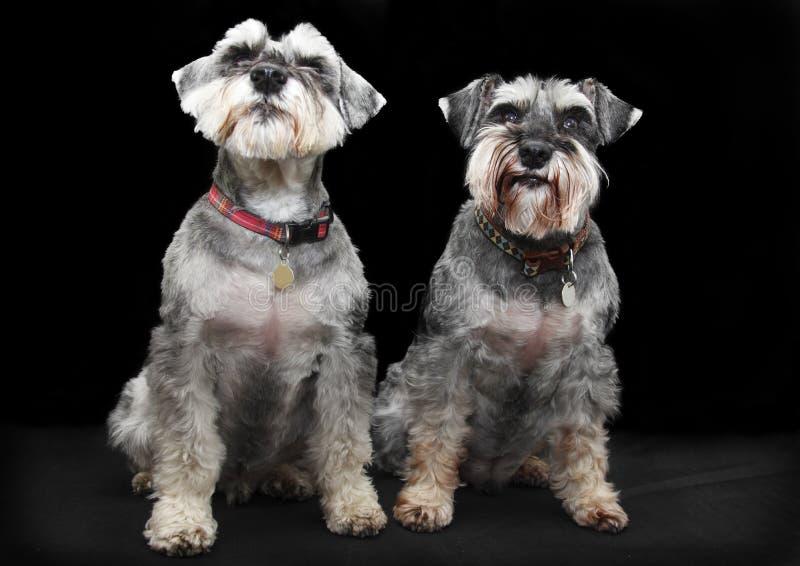 De honden van Schnauzer stock foto