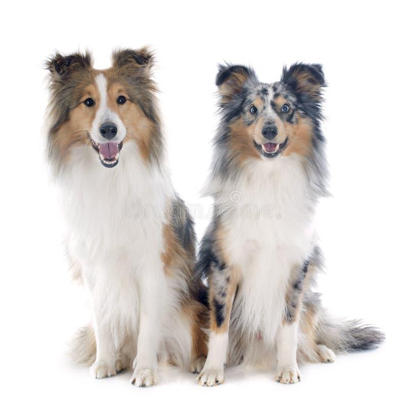 Download De honden van Shetland stock foto. Afbeelding bestaande uit grijs - 39103636