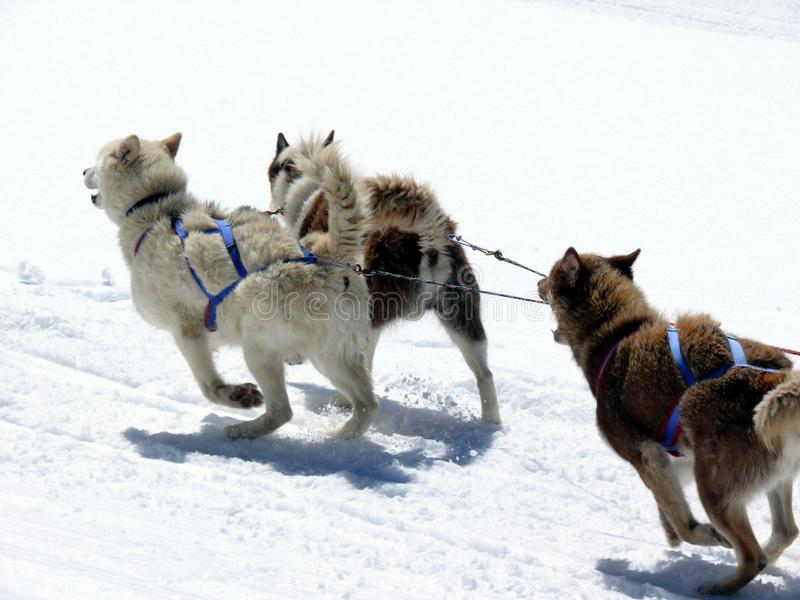 De Honden van de slee in de sneeuw stock foto's