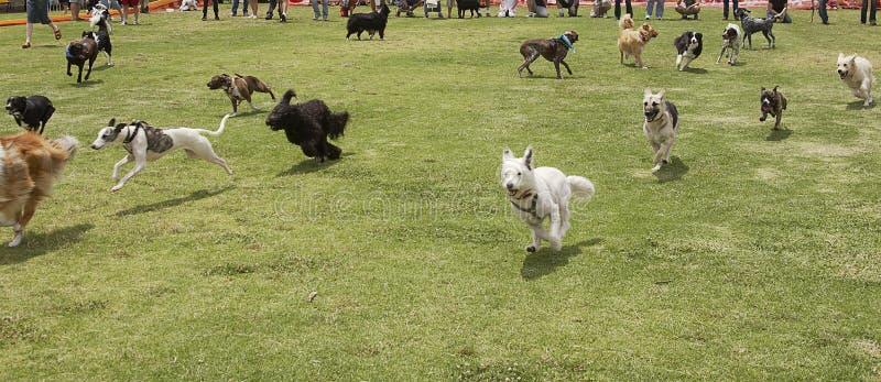 De honden zijn Los royalty-vrije stock foto's