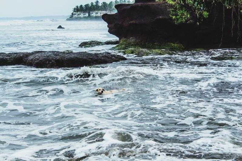 De honden zwemmen goed stock afbeeldingen