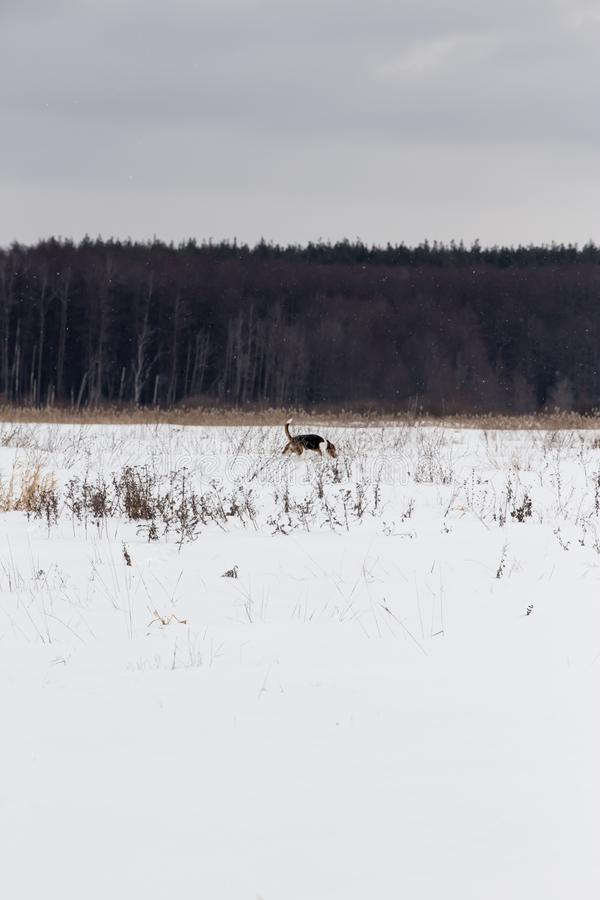 De hondenlooppas rond het snow-covered gebied stock fotografie