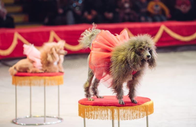 De Hondenprestaties in de Circusarena royalty-vrije stock foto's