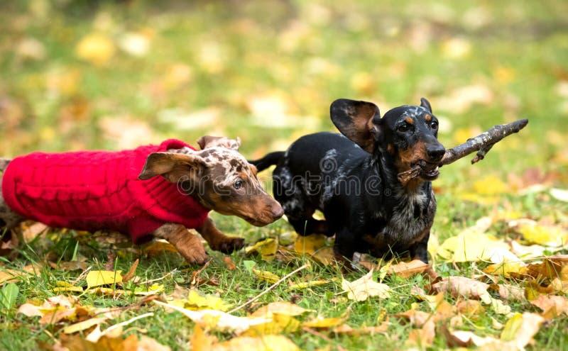 De hondenpuppy van Tvotekkels royalty-vrije stock afbeelding