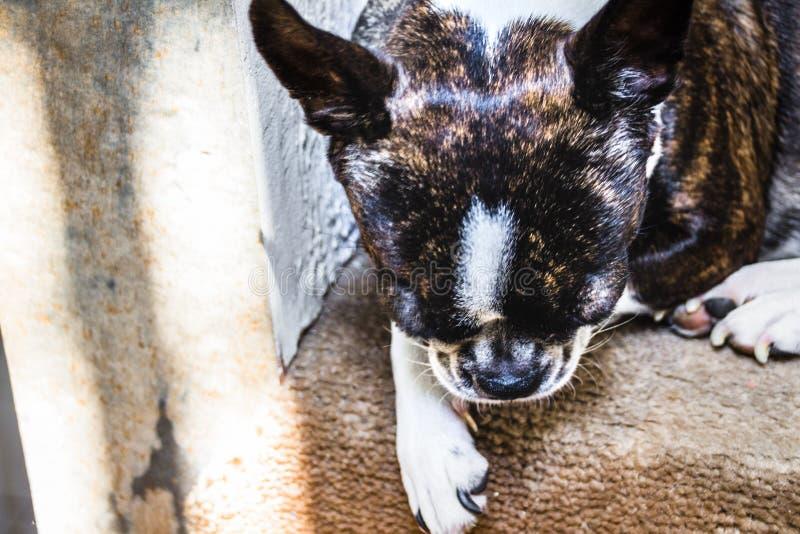 De hondfoto van Boston Terrier stock fotografie