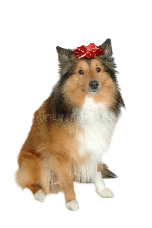 De hondgift 4 van Kerstmis stock foto