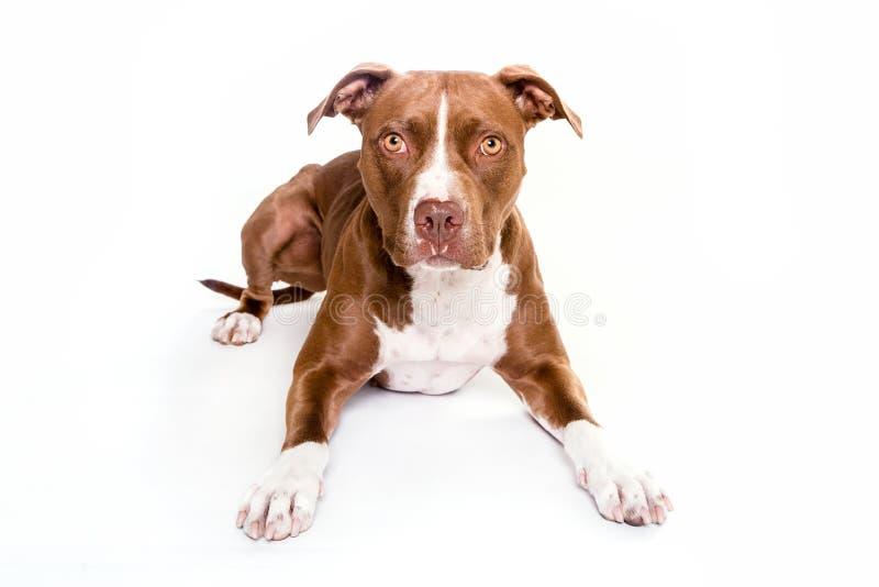 De hondportret die van de Pittstier op witte achtergrond leggen royalty-vrije stock afbeelding