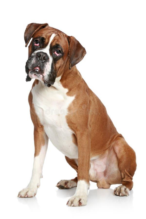 De hondportret van de bokser stock afbeelding