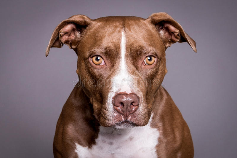 De hondportret van de Pittstier op grijze achtergrond royalty-vrije stock foto's