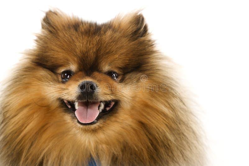 De hondportret van Pomeranian. royalty-vrije stock foto