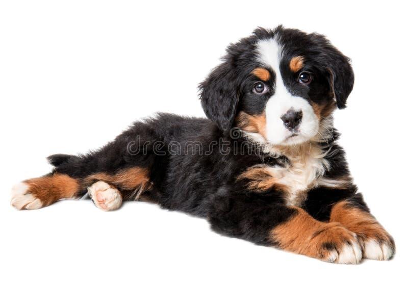 De hondpuppy van de Berneseberg op witte achtergrond wordt geïsoleerd die stock afbeelding