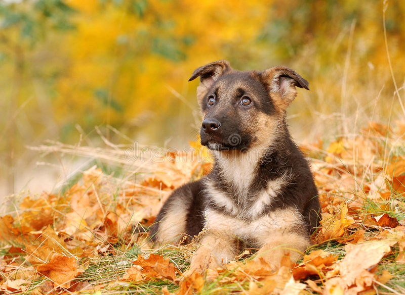 De hondpuppy van de Duitse herder stock fotografie