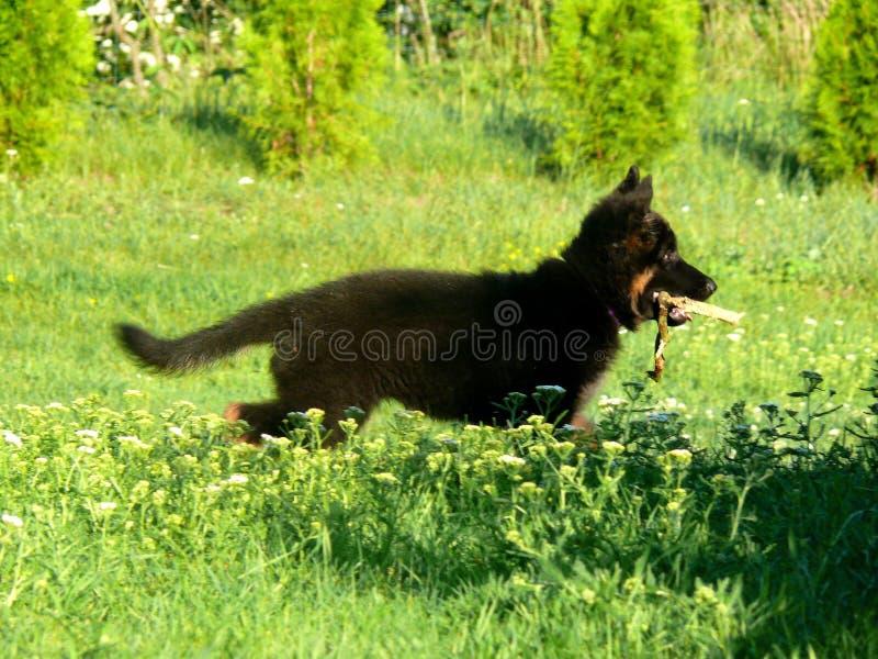 De hondpuppy van de Duitse herder stock foto