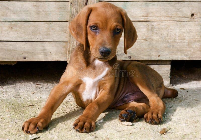 De hondpuppy van Maremmano van Sergugio royalty-vrije stock afbeeldingen