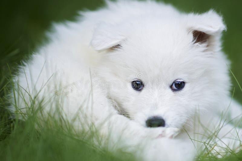 De hondpuppy van Samoyed stock afbeeldingen