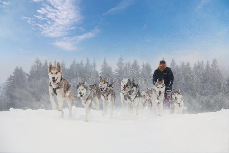 De hondras van de de winterslee in het prachtige de winterlandschap in de bedelaars stock foto's