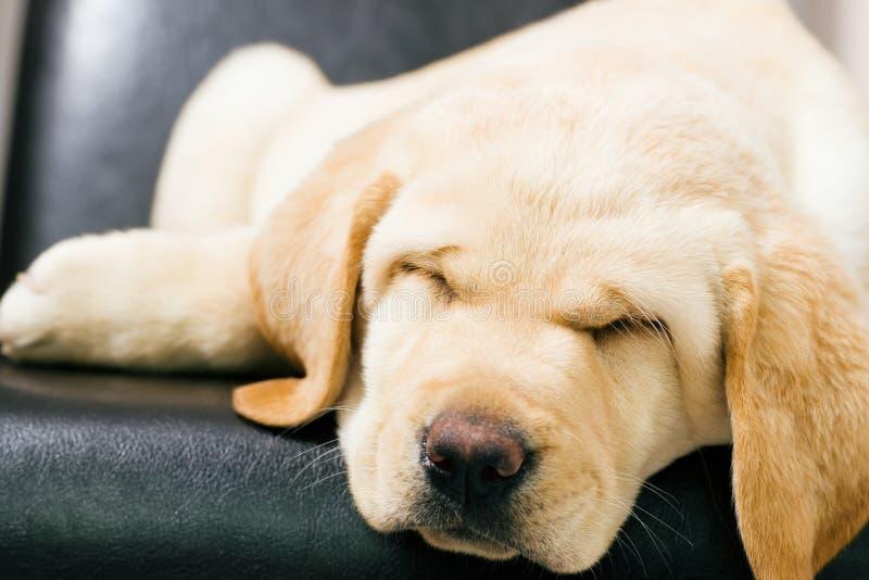 De hondslaap van het puppy stock foto's