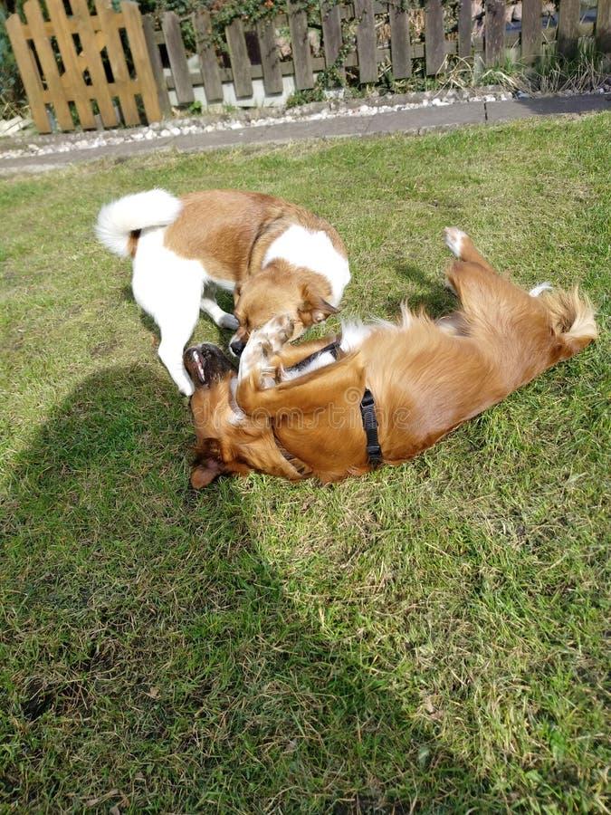 De hondvrienden spelen samen stock foto's