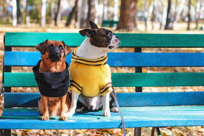 De hondvrienden zitten op een bank in de herfstpark, Boston Terrier en kleine brabanson stock afbeeldingen