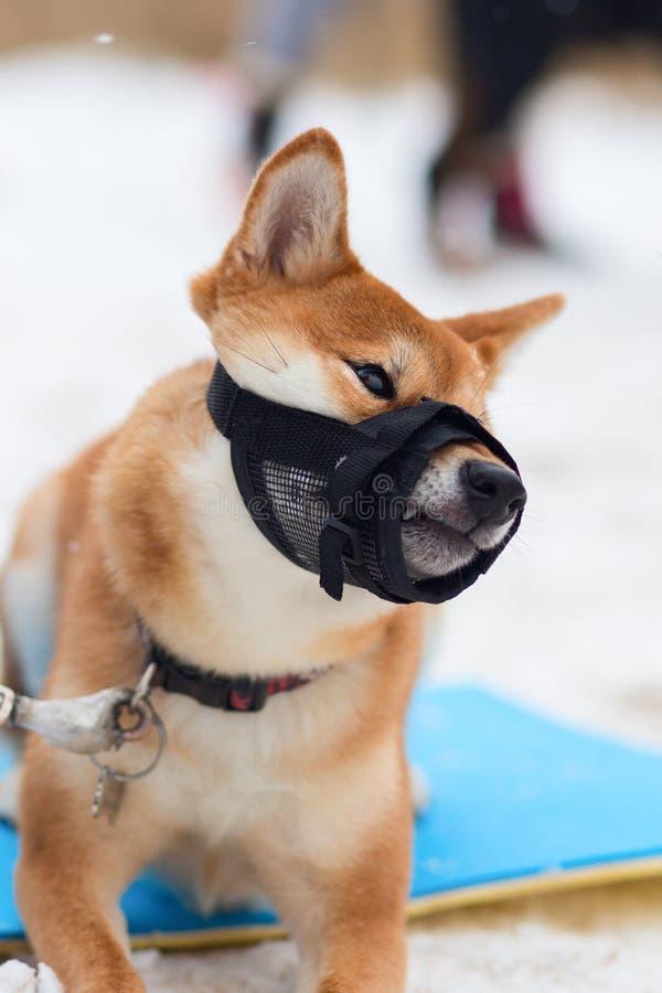 De hondwinter in een beschermend masker, snuit stock foto