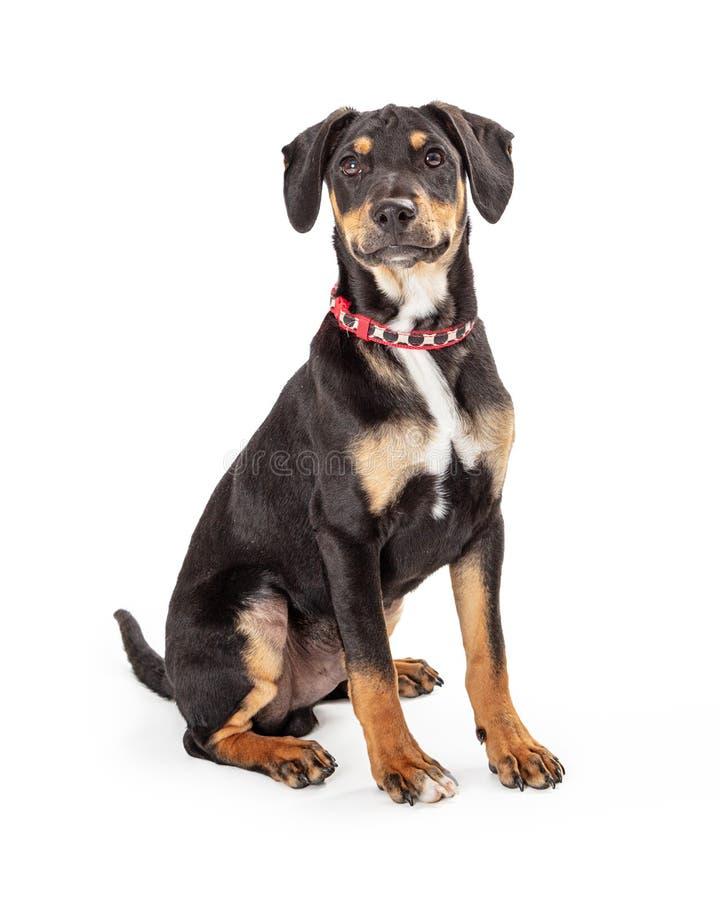 De hondzitting van het Doberman leuke puppy op wit die vooruit eruit zien royalty-vrije stock foto