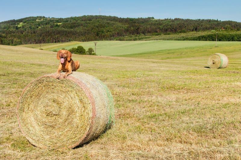 De Hongaarse wijzer ligt op een hooiberg Het landbouwwerk aangaande weiland in de Tsjechische Republiek Rust na het werk stock foto's