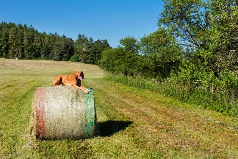 De Hongaarse wijzer ligt op een hooiberg Het landbouwwerk aangaande weiland in de Tsjechische Republiek Rust na het werk royalty-vrije stock afbeeldingen