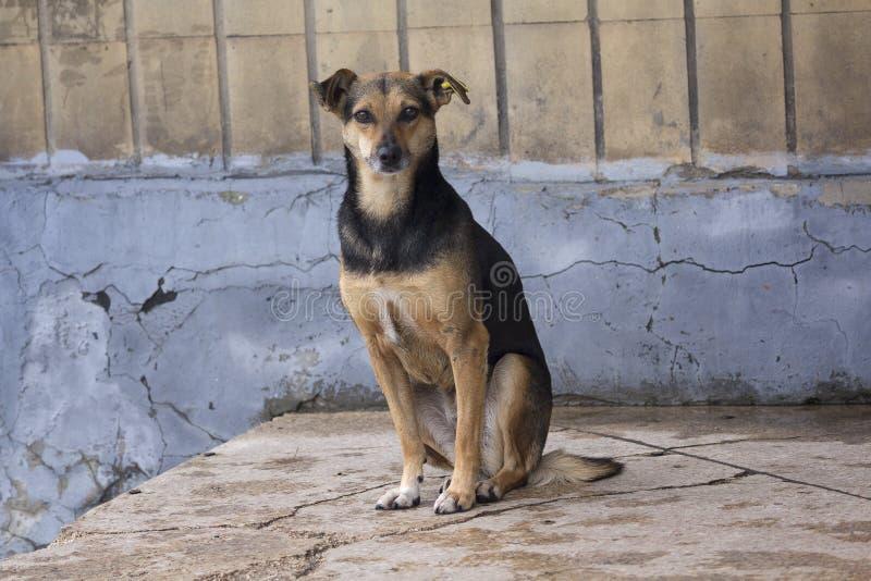 De hongerige dakloze hond kijkt met hoop stock fotografie