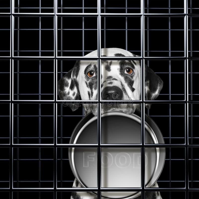 De hongerige Dalmatische hond met lege kom is punishe in kooi stock afbeeldingen